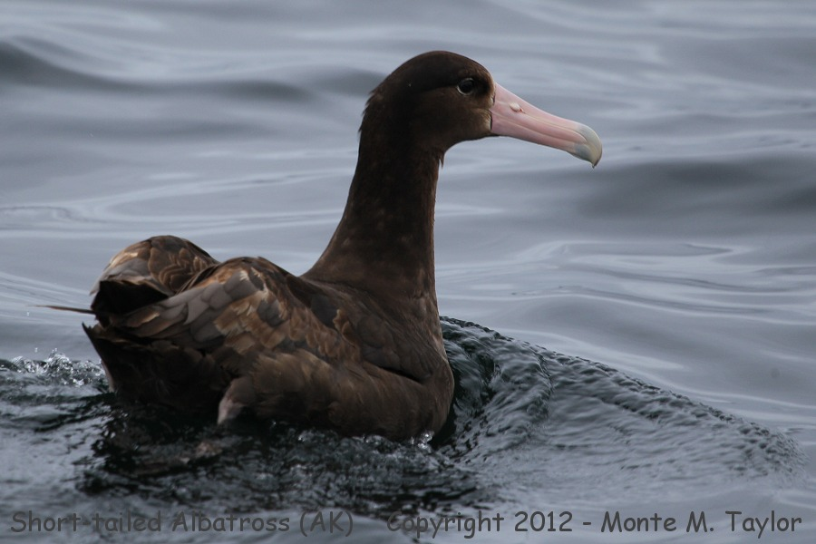 Short-tailed Albatross -spring immature- (near Herbert Is, Aleutians, Alaska)