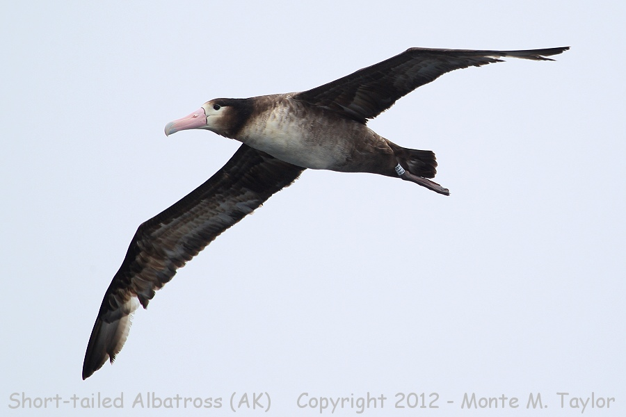 Short-tailed Albatross -spring sub-adult- (near Seguam Is, Aleutians, Alaska)