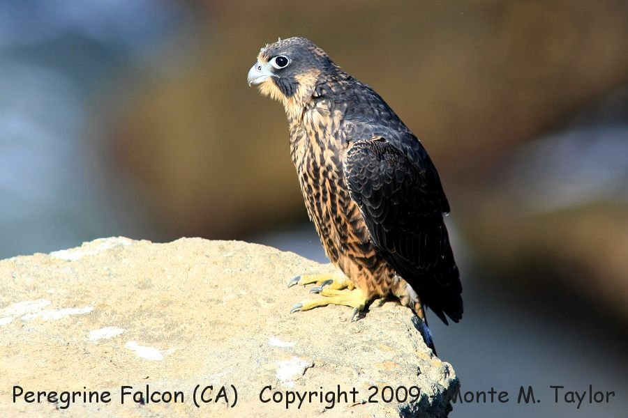 the peregrine falcon essay Peregrine falcon definition: a peregrine falcon or a peregrine is a bird of prey  |  meaning, pronunciation, translations and examples.