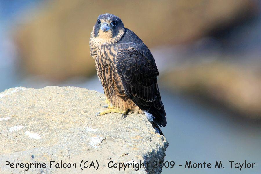 Peregrine Falcon Talons Peregrine Falcon Male