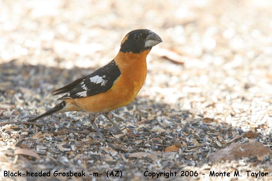 Black-headed Grosbeak -male- (Arizona)
