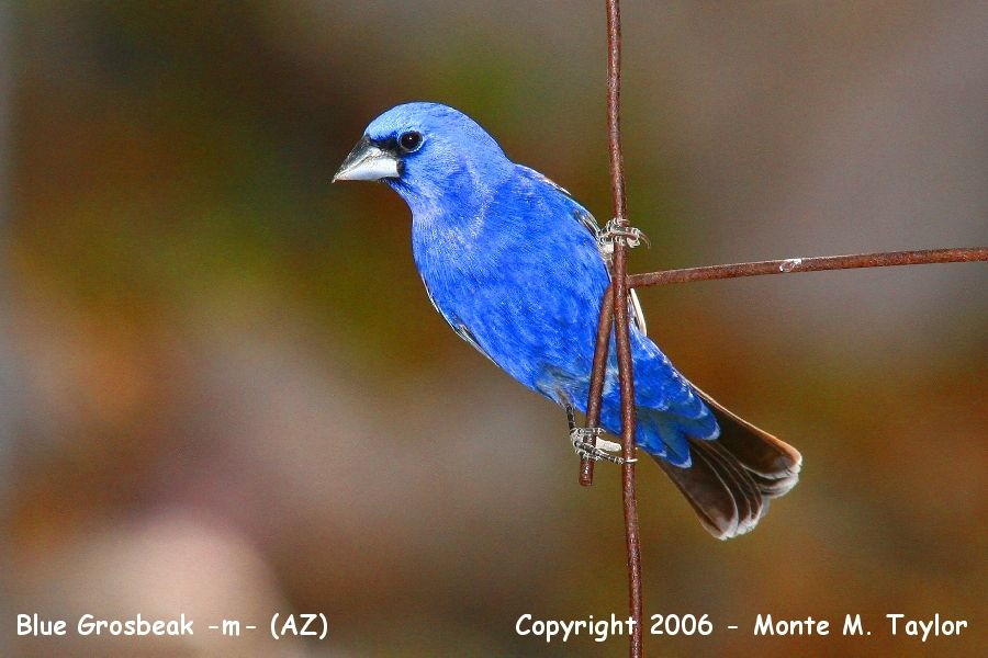 Blue Grosbeak -male- (Arizona)