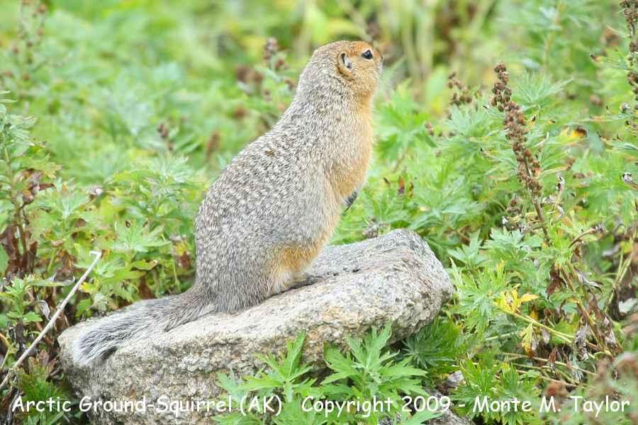 Arctic Ground Squirrel Clip Art