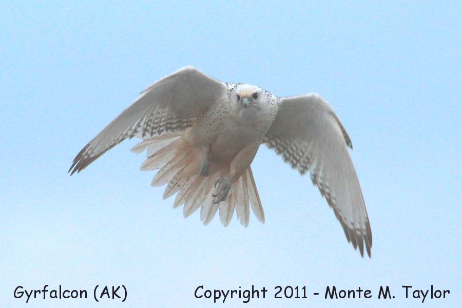 Gyrfalcon -fall / white phase- (Gambell, St. Lawrence Island, Alaska)