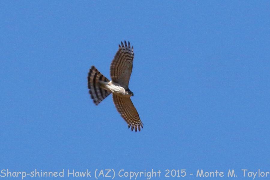 sharp shinned hawk hawk clipart feathers hawk clipart yellow