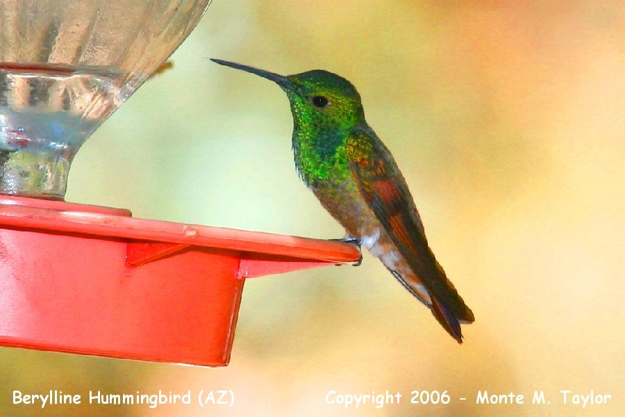 Berylline Hummingbird (Arizona)