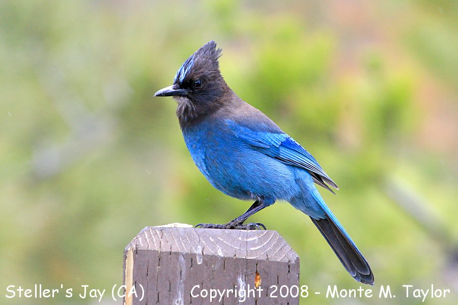Steller's Jay -summer- (Lake Tahoe, California)