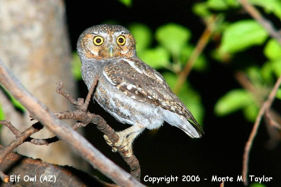 Elf Owl - Arizona