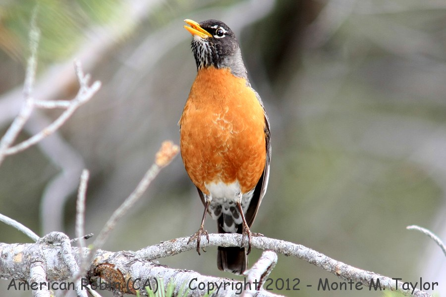 American Robin and Bird Anatomy http://tsuru-bird.net/a_species/robin_american/