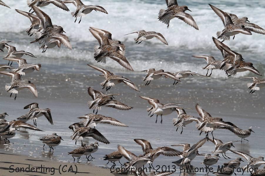 Sanderling -spring- (California)