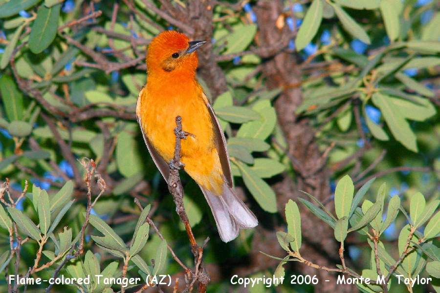 Flame-colored Tanager - (Arizona)