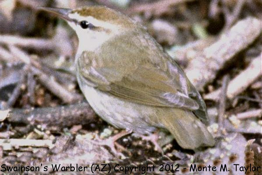 Swainson's Warbler -spring-  (High Island, Texas)
