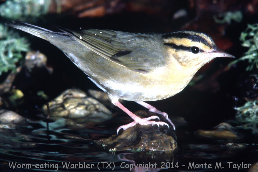 Worm-eating Warbler -spring- (High Island, Texas)