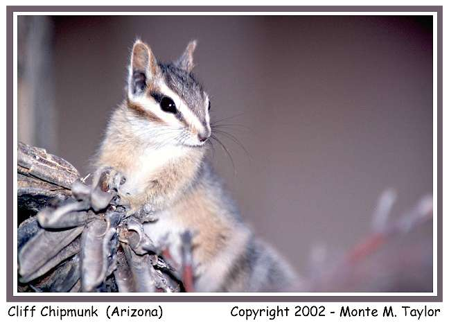 Cliff Chipmunk (Arizona)