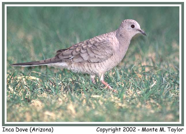 Inca Dove (Arizona)