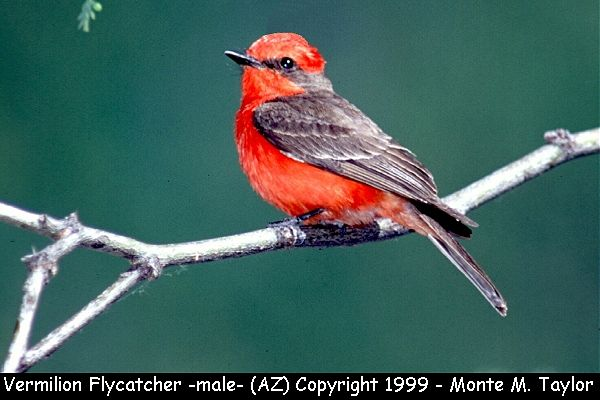 Vermilion Flycatcher -male-  (Arizona)