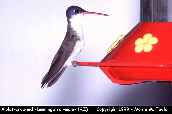 Violet-crowned Hummingbird -male-  (Arizona)