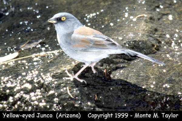 Yellow-eyed Junco  (Arizona)