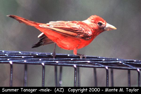 Summer Tanager -male-  (Arizona)