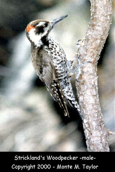 Arizona (Strickland's) Woodpecker -male-  (Arizona)