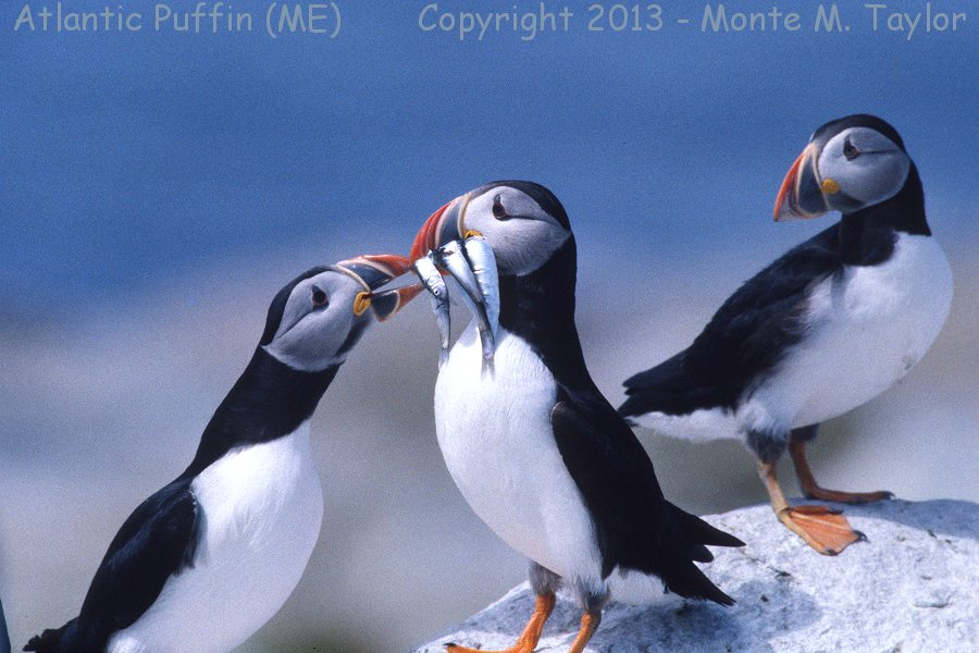 Atlantic Puffins (Machias Seal Island, Maine)