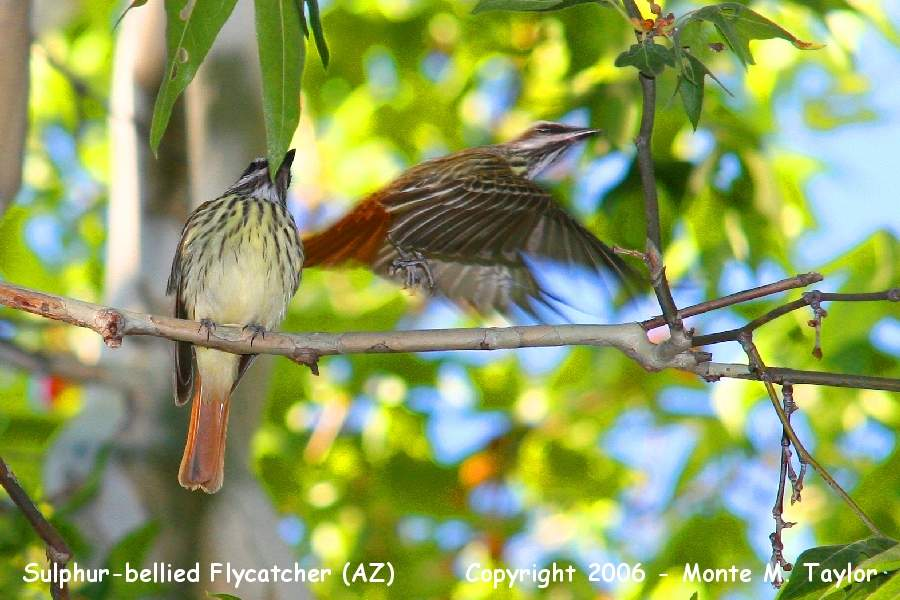 Sulphur-bellied Flycatcher  (Arizona)