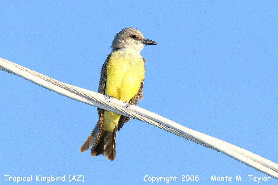 Tropical Kingbird (Arizona)