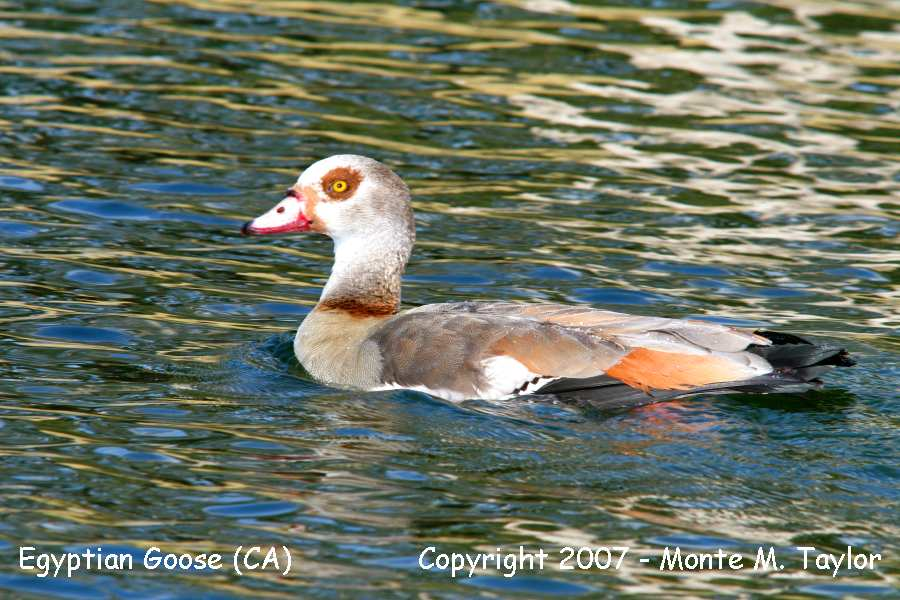 Egyptian Goose -captive- (California)