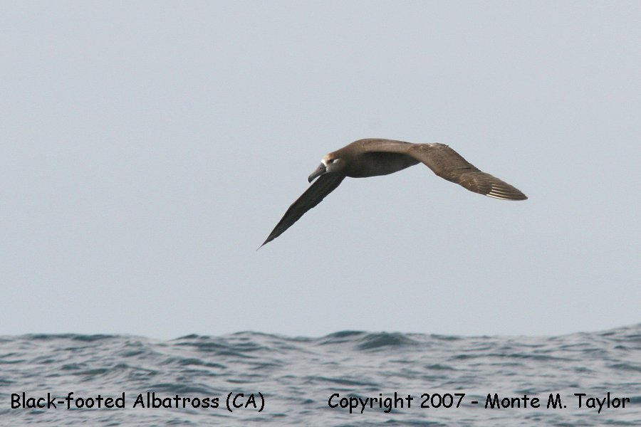 Black-footed Albatross (CA)