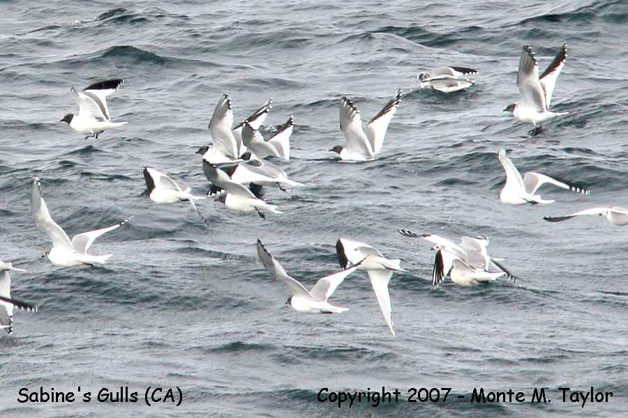 Sabine's Gulls (flocks totalling 1,000 + in one day!)