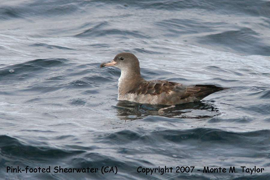 Pink-footed Shearwater (California)