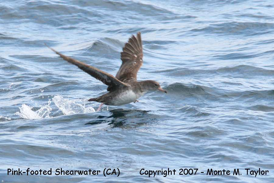 Pink-footed Shearwater (CA)