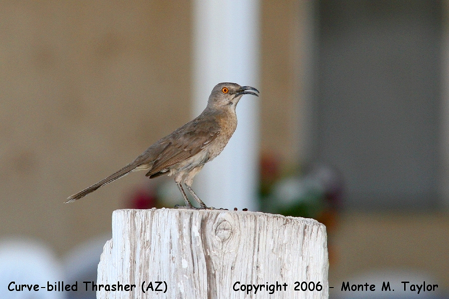 Curve-billed Thrasher  (Arizona)